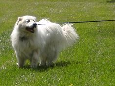 GREAT PRYNESS DOG PHOTO | Pyrenean Mountain Dog (Great Pyrenees) breed information | OMyPet Down From The Mountain, Top Dog Breeds, Great Pyrenees, White Dogs, Dog Show, Mountain Dogs, Working Dogs, Dog Photos, Lust