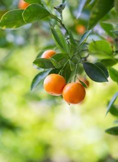 For prosperity, the lime tree is a must for those welcoming the Chinese New Year....'kat' is phonetically the same as the word that means 'fortunate' and 'auspicious'