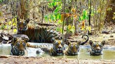#Tadoba Jungle Safari 2 Nights Package Book Now !!