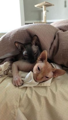 15 Sphynx cat Pictures Guaranteed To Make Your Day! Puppies And Kitties, Cute Cats And Kittens, I Love Cats, Crazy Cats, Cool Cats, Big Cats, Chat Sphynx, Hairless Cats, Baby Animals