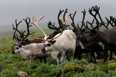 caribou - this has to be either an early morning or a late evening shot - the colors are amazing....