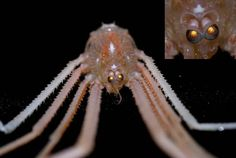 Gastroptychus spinifer (squat lobster) has a body that is about 1/2-inch wide and 1-inch long. Its eyes are quite large for such a small animal.   CREDIT: Image courtesy of Bioluminescence Team 2009, NOAA-OER.