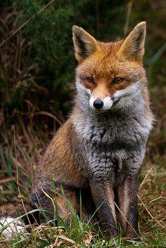 Red Fox at the British Wildlife Centre   Red fox (Vulpes vul…   Flickr