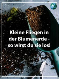 Little flies in the potting soil - so you can get rid of them-Kleine Fliegen in der Blumenerde – so werden Sie sie los soil fly -