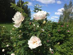 Takalo-Roppolan puutarha- ja mansikkatila: RUUSUT- rose Ruskela