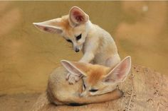 Baby Fennec Fox Siblings