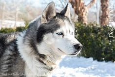 3 / 18    Petango.com – Meet Butch, a 6 years 1 month Siberian Husky available for adoption in KANSAS CITY, MO