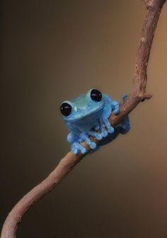 blauwe boomkikker