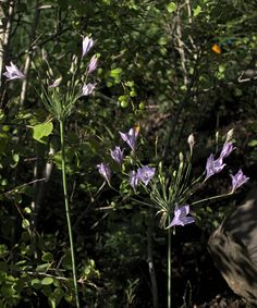 Triteleia laxa—Ithuriel's spear. Regional Parks Botanic Garden Picture of the Day. 29 Mar 2016