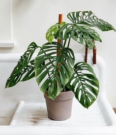 No matter how many Mondays go by we can't help but admire the variation in leaf windows shapes and sizes on the ever-marvelous Monstera species. Just one of these available locally and it was labeled obliqua though our aroid instincts tell us it's more likely an adansonii. Happy #MonsteraMonday! #indoorgardening