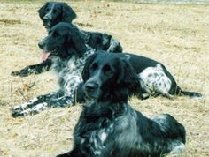 Three Large Munsterlanders lying in the grass at Autumn Breeze Kennel.