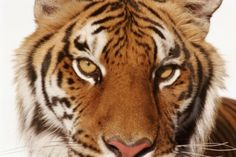 Big Cat Attacks Spike Due to Growing Exotic Pet Trade
