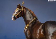 Portrait of Prabhat, gorgeous Marwari stallion from India. Beautiful and typical, he became already a living legend of Marwari breed. Ekaterina Druz Horse Photography