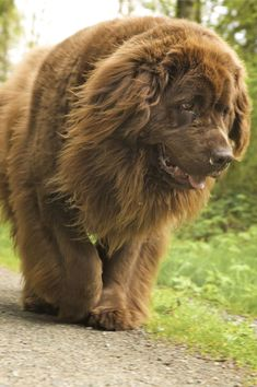 Newfoundlands. They're the best.
