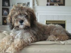Chocolate Sable Cockapoo:  a bit how Kimba looked when we very first got him as a puppy!