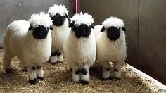 Valais Blacknose Sheep from the Valais region of Switzerland