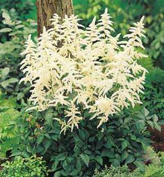 astilbe deutschland white - Google Search