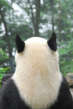 giantpandaphotos:  © Pandas International.