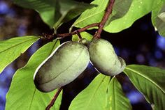 Native Tropical Paw Paw Tree Edible, Custardy Tropical Fruit Spring and Fall Color Disease Resistance Hardy and Cold Tolerant Long History A favorite of George Washington and Thomas Jefferson, the Paw Paw (Asimina triloba) is an incredible nat