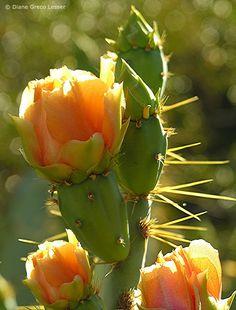 flowering cactus, Arizona, by Diane Greco Lesser