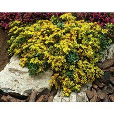Smaragdfetblad. Kan trivas under träd eller i husskugga där det blir torrt. (Bör testas innan man kör på för fullt.)  Andra växter som kan klara skugga och torr jord är bergenia, gulplister, flocknäva, blanknäva, vintergröna och lundbräken. För lerjord är löjtnantshjärta, smörbollar och akleja också bra val.