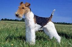 Cani/Fox Terrier(pelo ruvido):
