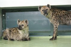 Japan Zoo Discovers How Not to Breed Hyenas - Japan Real Time - WSJ