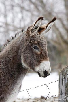 Mini Donkey for the farm