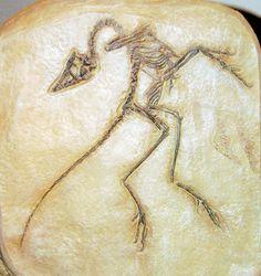 Compsognathus fossil specimen