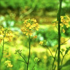 春色の絵を描きましょう。大切な人と。  #japan  #nara  #sahogawa  #haruiro   #taisetsunahito  #egaku  #nanohana  #OLYMPUS