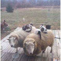 Katzen lieben es warm, da kommen ihnen gutmütige Schafe gerade recht.