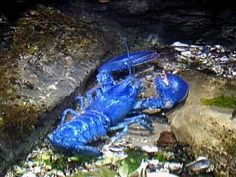 If I had a restaurant in Maine, I would call it the Blue Lobster!