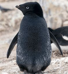 rare black penguin