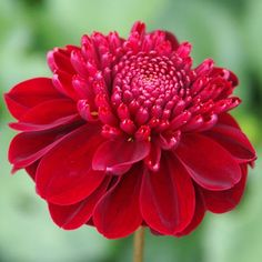 www.national-dahlia-collection.co.uk  Scarlet Comet