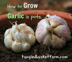 I get asked quite often if garlic can be grown in pots. The answer is yes,  it can be.  Today I decided to pot up two bulbs of garlic along with lots  of photos so that you can watch along with me as it grows and is harvested  next summer.   I decided to try two different varieties--Kettle River Giant is a mild soft  neck garlic and German Extra Hardy is a porcelain type hard neck garlic.   I divided each bulb into indivual cloves. That made 6 German Extra Hardy  cloves and 13 Kettle River…