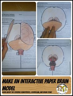 Students will love this interactive brain model as they learn about the cerebral hemispheres, cerebellum, and parts of the brain stem Biology Lessons, Science Biology, Teaching Biology, Science Lessons, Science Education, Science For Kids, Science Activities, Ap Biology, Science Notebooks