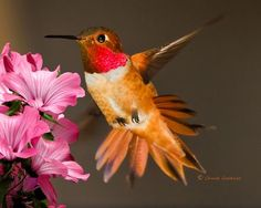 Mr. Rufous Hummingbird  Photo by Chuck Gardner -- National Geographic Your Shot