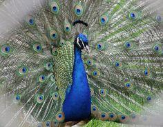 20 Beautiful Examples of Peacocks
