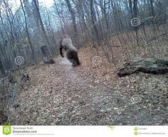 Caught on camera in West Virginia Real Bigfoot Pictures, Bigfoot Photos, Bigfoot Party, Giant Skeleton, Finding Bigfoot, Bigfoot Sightings, Bigfoot Sasquatch, Trail Camera, Unexplained Mysteries