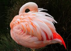 sleeping feather duster  ?? by tibchris, via Flickr