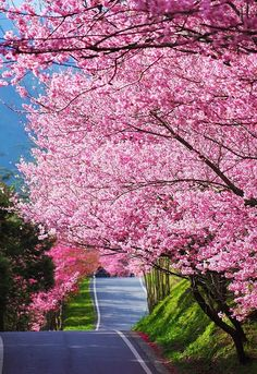 Pink Spring Tree Blossoms