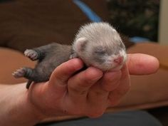 baby Ferrets for sale - Google Search