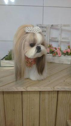 shih tzu, shitzu puppy shih tzu, shih tzu quotes so true, shih tzus, shi. Chien Shih Tzu, Perro Shih Tzu, Shih Tzu Puppy, Shitzu Puppies, Cute Puppies, Dogs And Puppies, Cute Dogs, Doggies, Retriever Puppies
