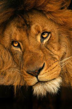 Indémodable, le roi des animaux.  (Lion)
