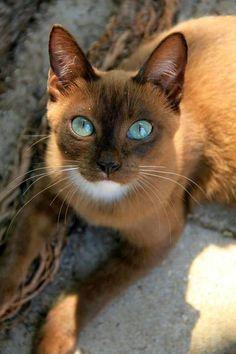 Chat brun magnifique avec une tâche blanche sur le cou et aux yeux turquoises