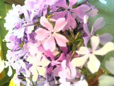 Oh joyous Phlox divaricata; smells divine in Passover/Easter bouquet!! Wildflower Farm greenhouses!