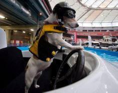 Duma was also spotted at the wheel of the boat pulling the Jack Russell terrier into the pool. Even though Duma likes to look like she's taking charge, the boat is actually being remotely operated by owner Cliff Blode.