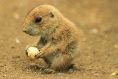 llbwwb:    Baby Prairie Dog (by TenPinPhil)