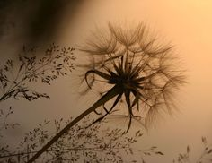 sepia tone dandelion