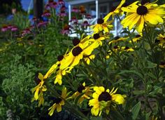 Black Eyed-Susan - great low-maintenance flower for landscaping